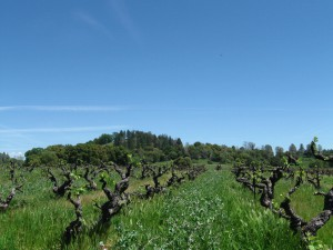 Story Winery, winery, wines, winemaking, vineyards, Mission vines