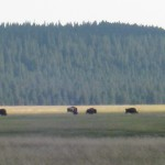 bison, buffalo, Yellowstone Park, Yellowstone, Wyoming