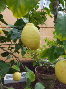 ponderosa lemon, lemon, lemon tree